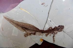 A stunning salamander fossil